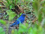 Young Western Blue Bird