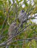 White-crowned Sparrow Pair