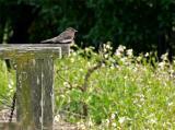 Phoebe on a Fence