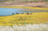 Geese & Yellow at the Pond