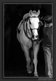 Lipizzaner of the Spanish Riding School in Vienna