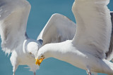 Seagulls fighting over food