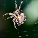 Garden Spider Repairing its Web