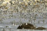 A Flock of Sandpipers at Pte de la Torche, Finistère