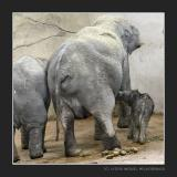 The newly born Elephant drinking from her Mother