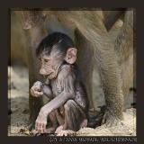 Baby Baboon