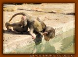 Little Baboon drinking