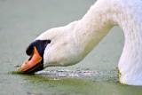 Swilling Swan