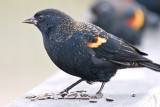 Blackbird's Feast