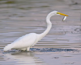 Egret's Catch