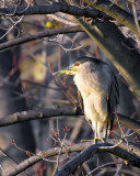Hidden Night Heron