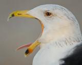 Expressive Gull