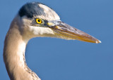 Curious Blue Heron