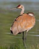 Wading Crane
