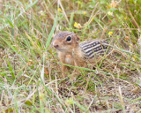 Thirteen Lined Ground Squirrel