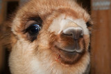 Happy Alpaca