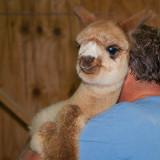 Alpaca Gets a Lift