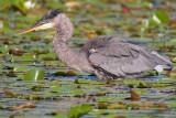Blue Heron in Deep Water