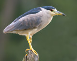 Improbable Night Heron