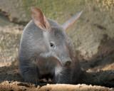Shy Aardvark