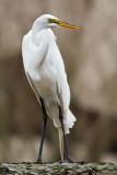 Pesky Egret