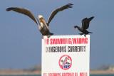 Dangerous Cormorant?