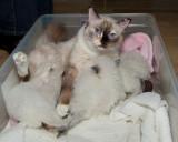 Nursing Ragdoll Kittens