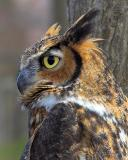 Great Horned Profile