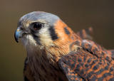 North American Kestrel