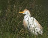 Shy Cattle Egret