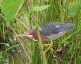Sneaky Green Heron