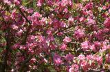 Crabapple Blossoms.jpg