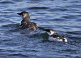 Common Murre Dad with chick