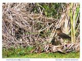 Green Heron with Chick