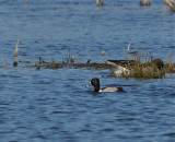 Ringand (Ring-necked Duck)