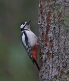 Större hackspett (Great Spotted Woodpecker)