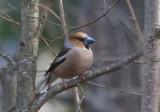 Stenknäck (Hawfinch)