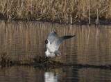 Skrattmås(Black-headed Gull)