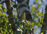 Polyglottsångare (Melodious Warbler)