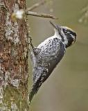 Tretåig Hackspett (Three-toed Woodpecker)