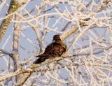Större turturduva (Rufous Turtle Dove)