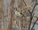 Steglits (Goldfinch)