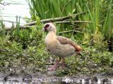 Nilgås (Egyptian Goose)