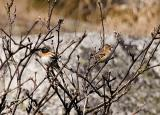 Bergfink (Brambling)