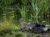 Rödspov (Black-tailed Godwit)