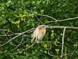 Rallhäger (Squacco Heron)