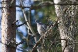 Ringduva (Woodpigeon)