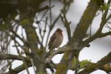 Rosenfnk (Common Rosefinch)