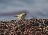 Kungsfågel (Goldcrest)
