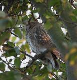 Hornuggla (Long-eared Owl)
